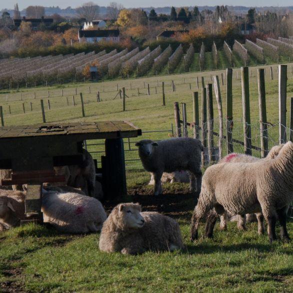 Rams and ewes