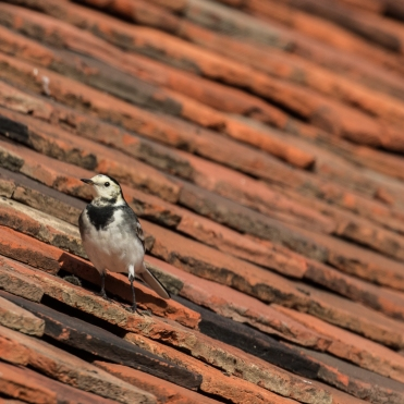 Pied wagtail on the church roof