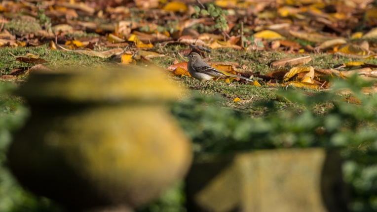 Grey wagtail in the graveyard