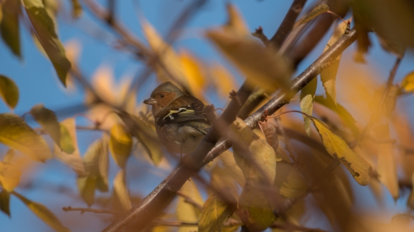 Chaffinch with muddy beak