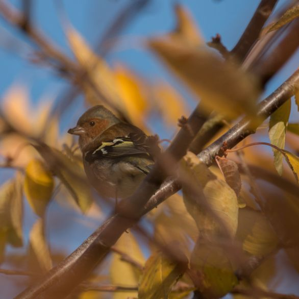 Chaffinch with muddy beak