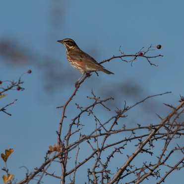 Redwing on hawthorn