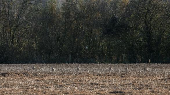 Curlews feeding in a fallow field