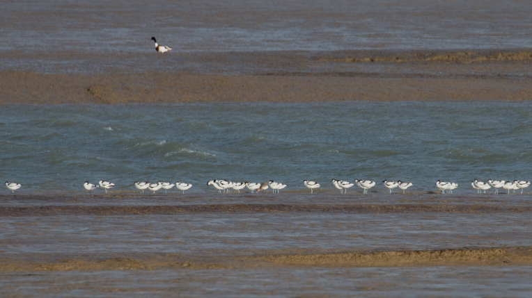 Avocets and a single bar-tailed godwit in the line