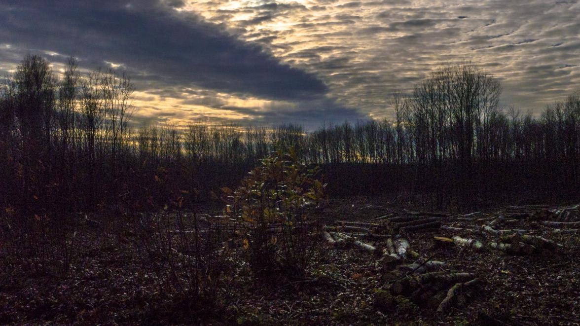 Sweet chestnut clearfell in winter