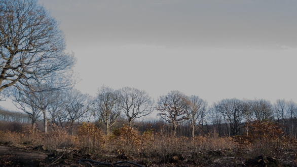 Oak standards and young sweet chestnut coppice
