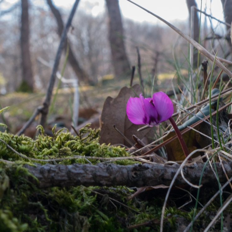 Another cyclamen flower