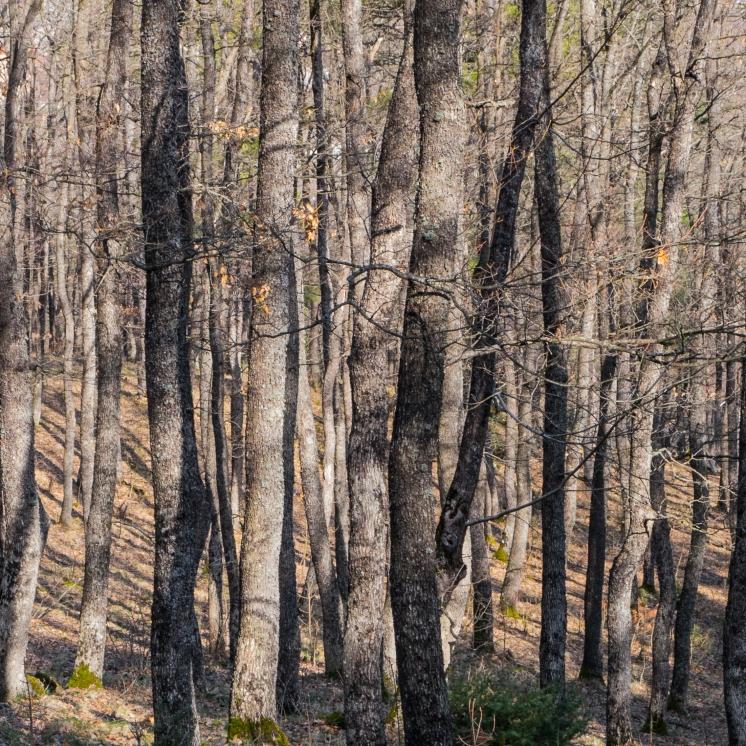 Downy oak woodland in winter sun