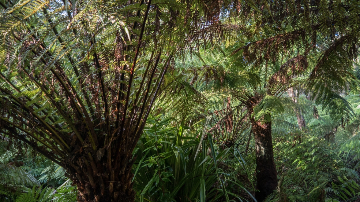 Tree ferns imported from New Zealand flourishing in the semi-tropical garden