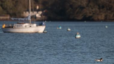 Shelduck and yacht