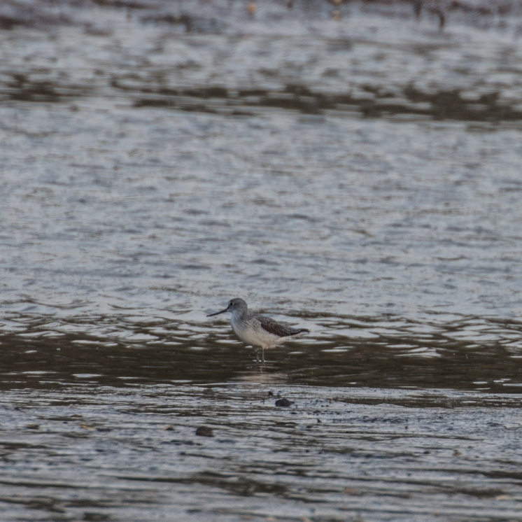 Wintering greenshank on the Dart