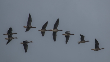 White-fronted geese flock