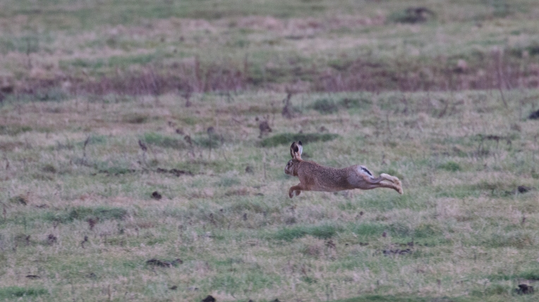 Brown hare on the run