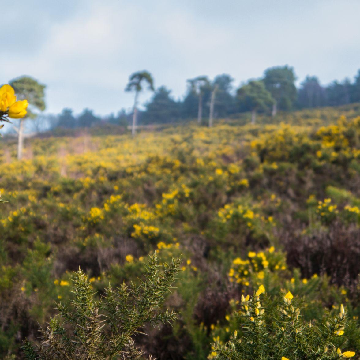Dartford warbler habitat