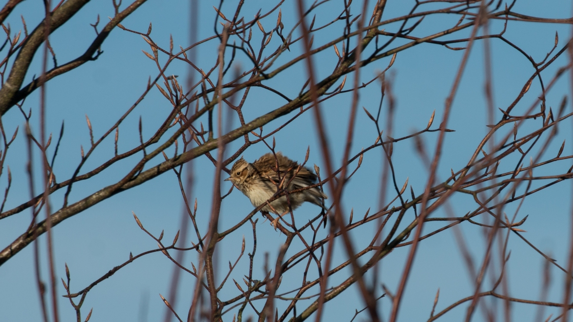 Woodlark with ruffled feathers