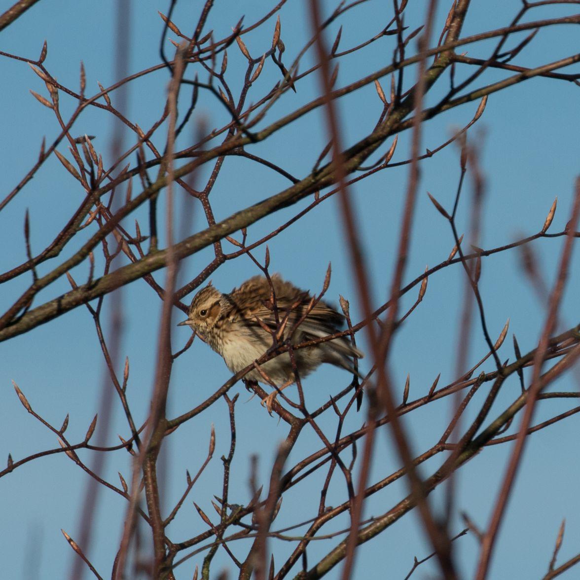 Woodlark with ruffled feathers