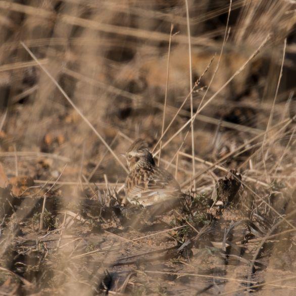 Woodlark foraging