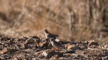Woodlark pair foraging on bare ground