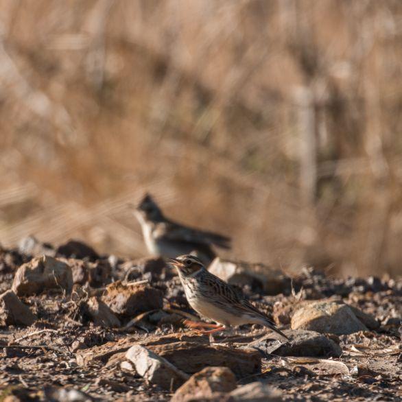 Woodlark pair foraging on bare ground