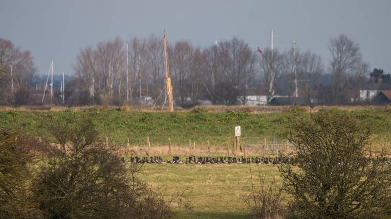 Brent geese alert in a pasture field