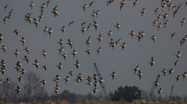 Brent geese circling