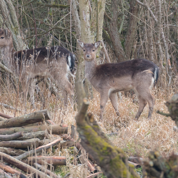 Fallow deer in the wet woodland
