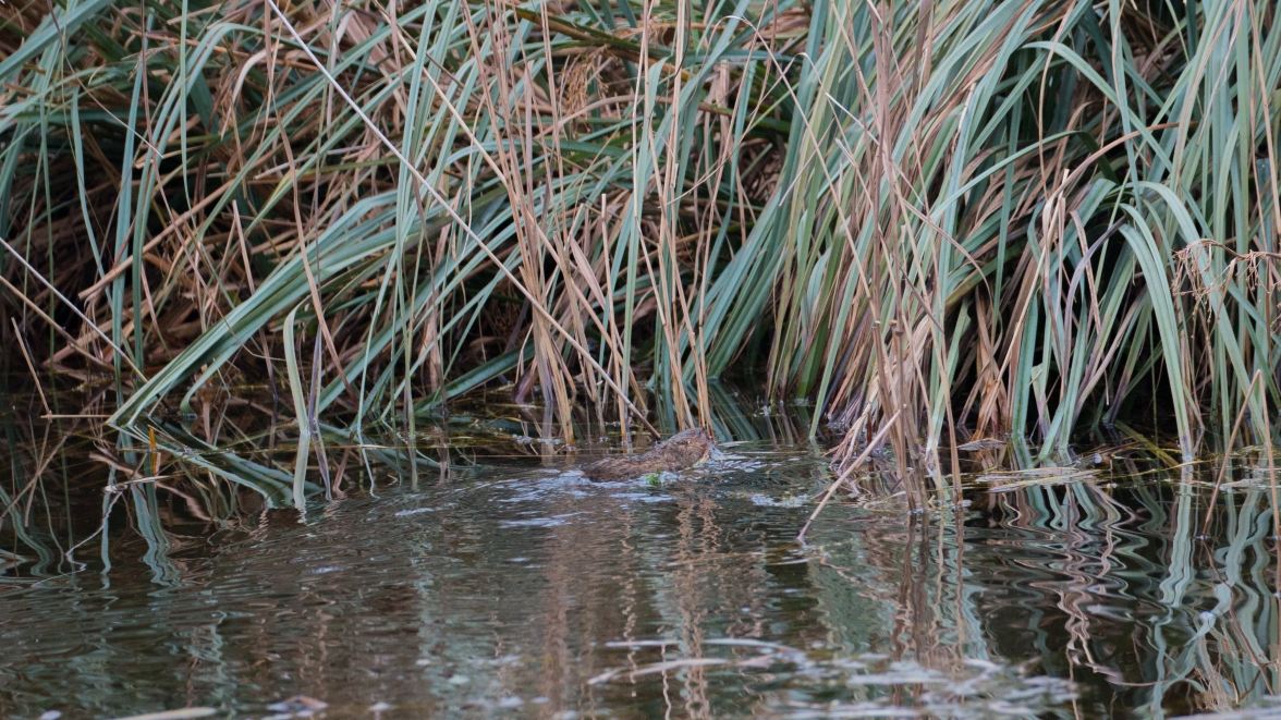 Water vole taking a section of stem back to its burrow