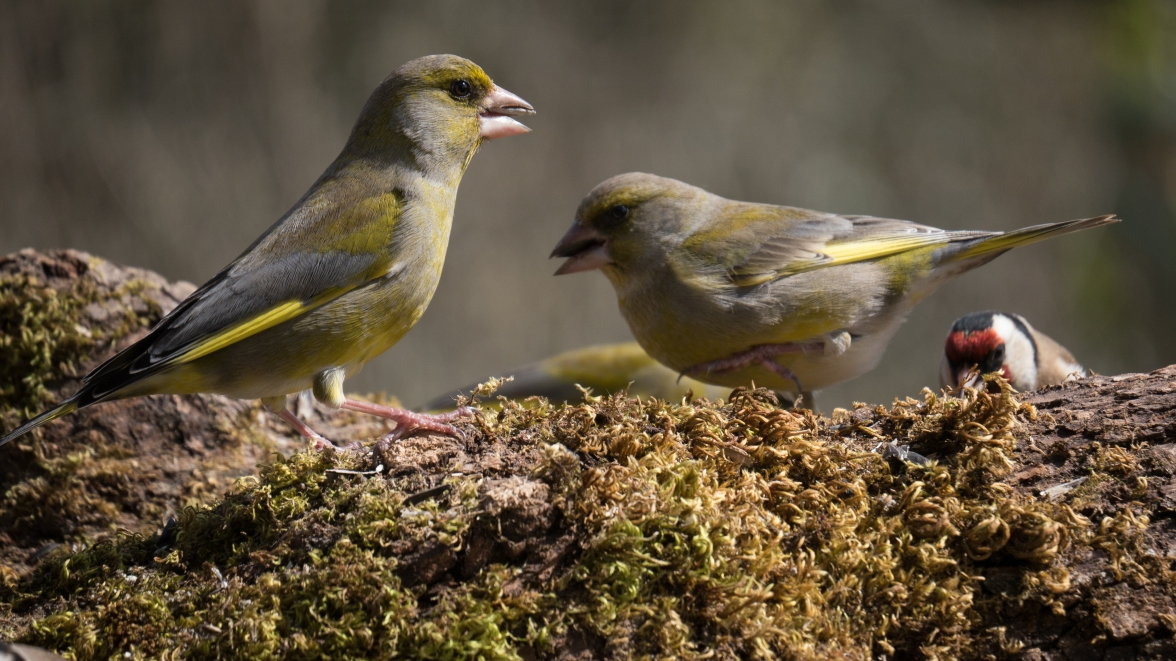 Male greenfinches feeding; such an amicable scene does not normally last for very long