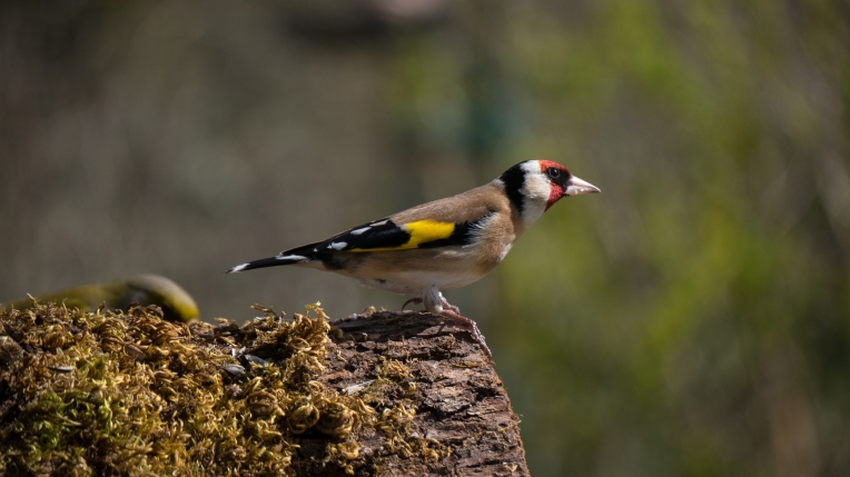 Goldfinch heading out