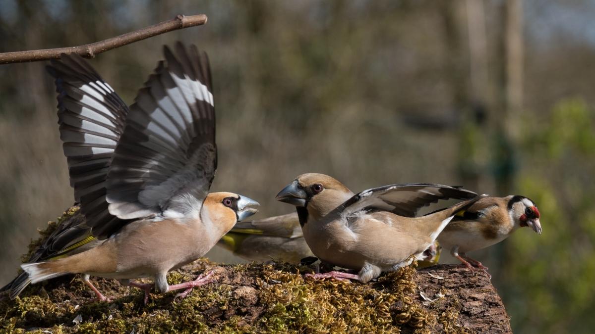 Hawfinch wars
