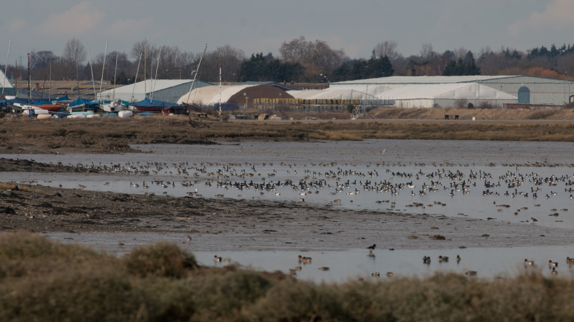The rising tide on the Blackwater concentrates the waterbirds below Maldon