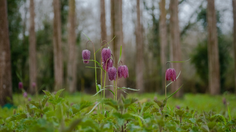 Fritillaries under poplars