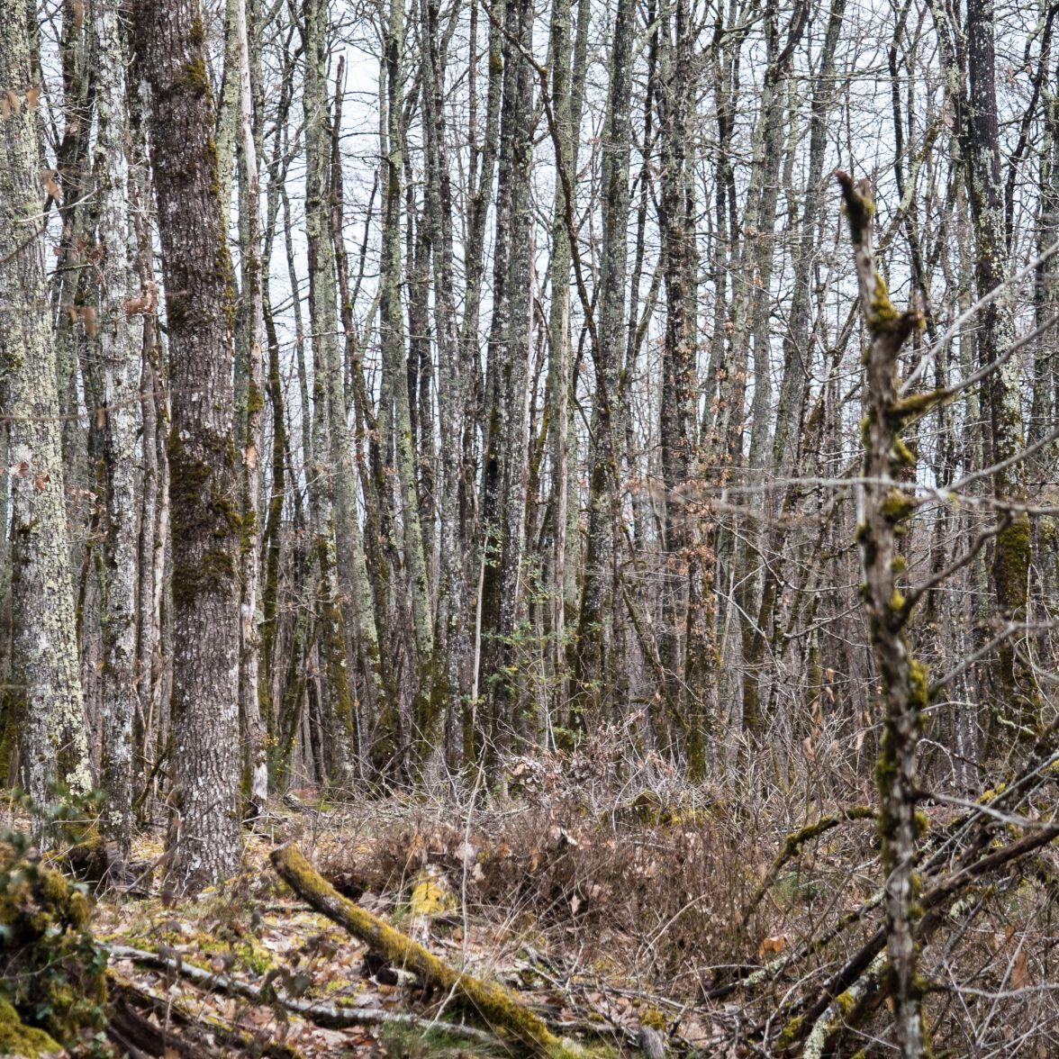 Lichen-encrusted oaks