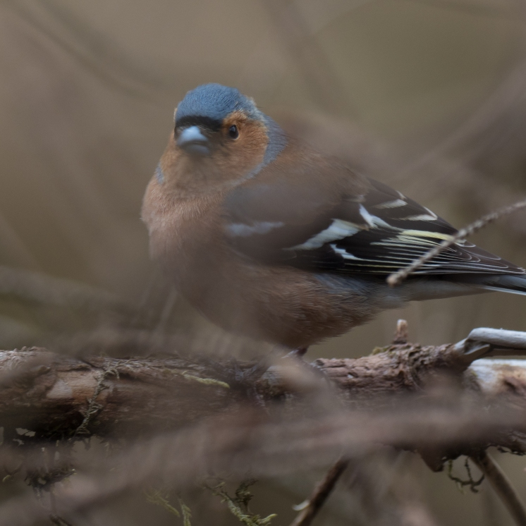 Male chaffinch - a common bird in the Sitka forests
