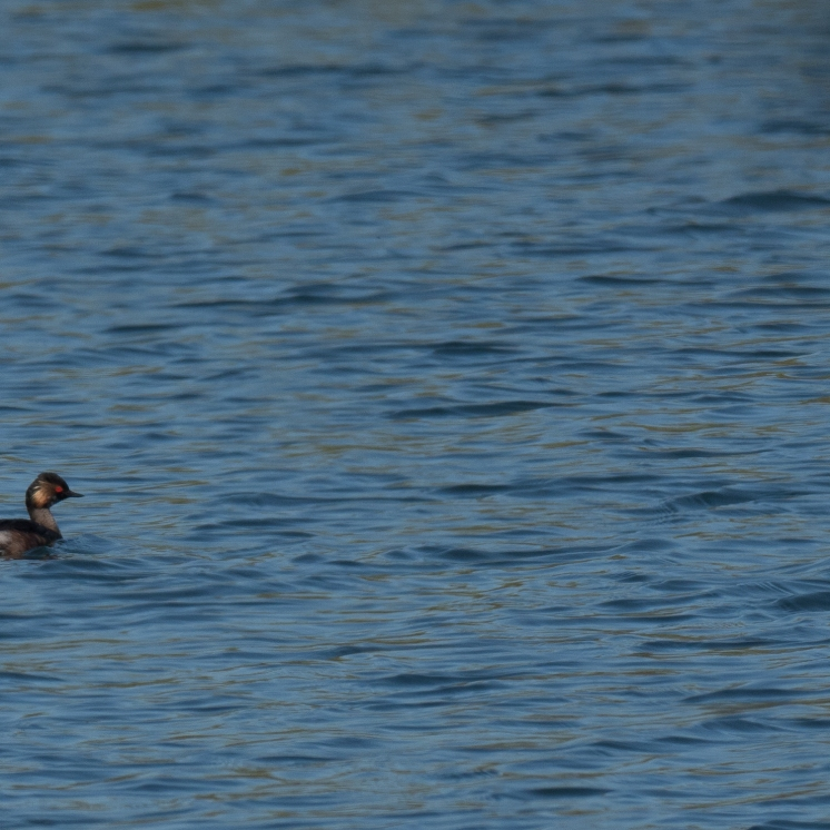 Black-necked grebe on Castle Water