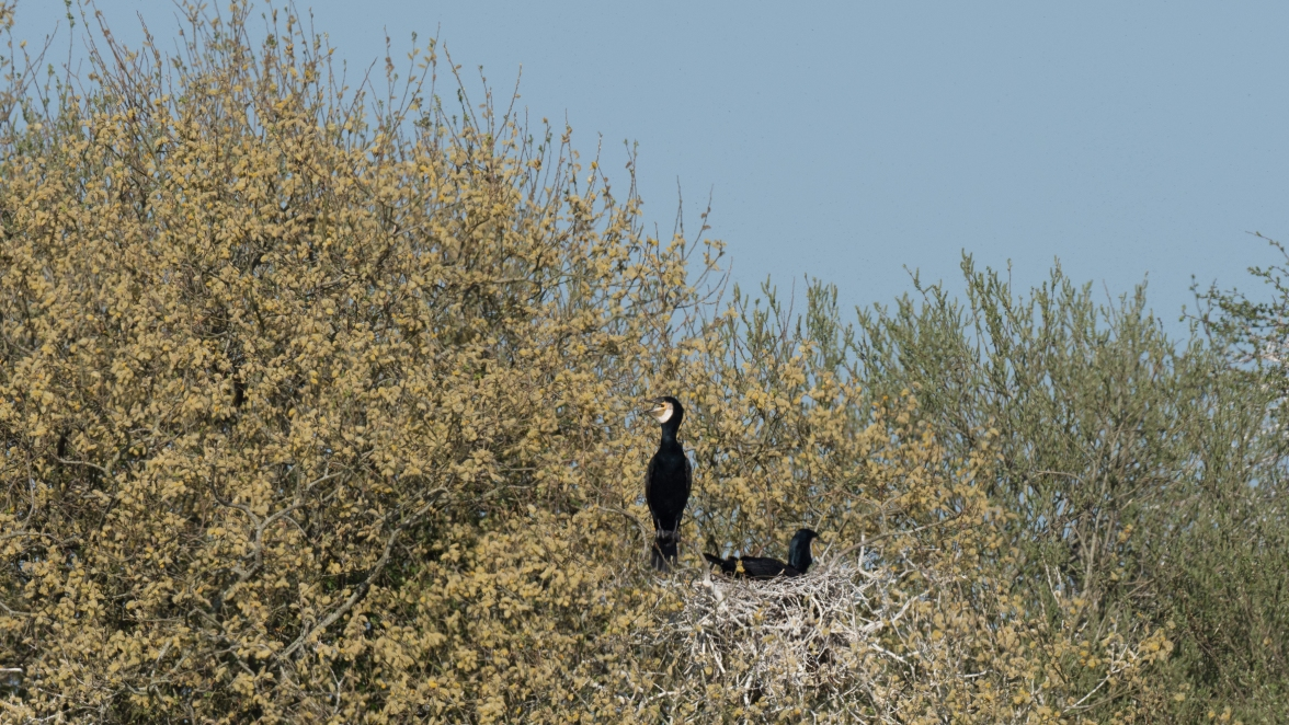 Breeding cormorants in dying willows