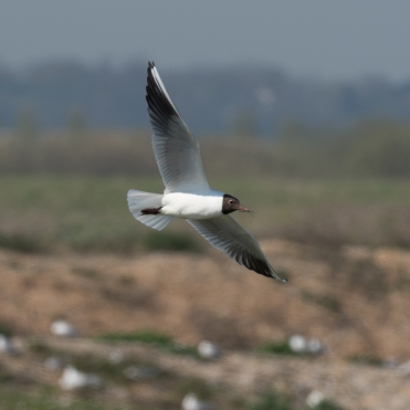 Black-headed gull with nest material
