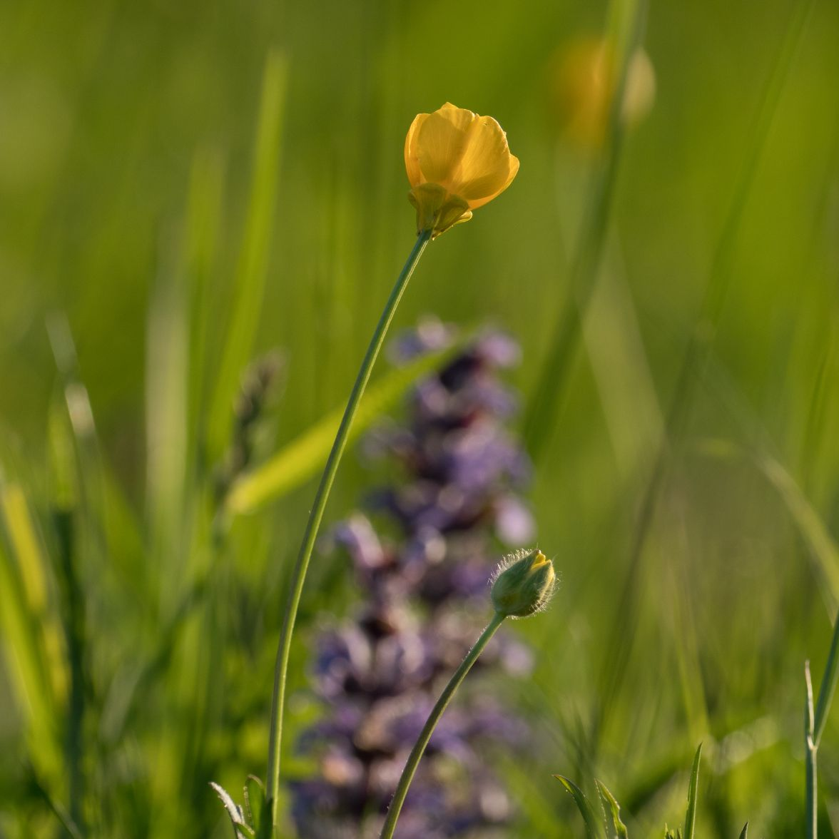 Creeping buttercup and bugle