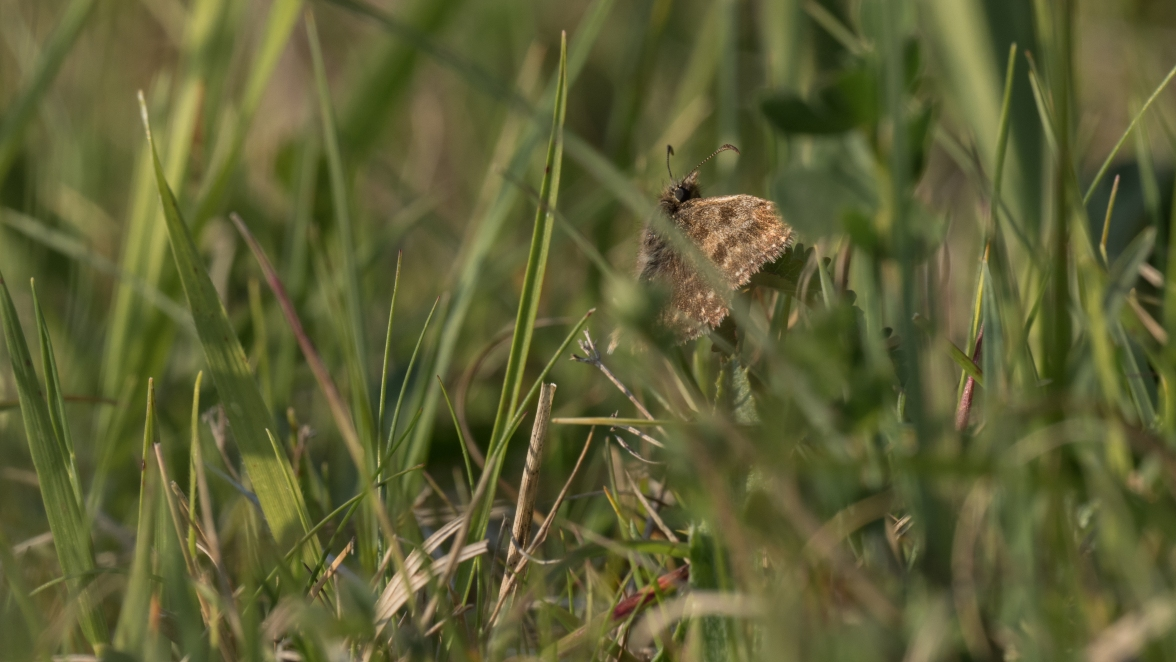 Dingy skipper in the chalk grassland sward