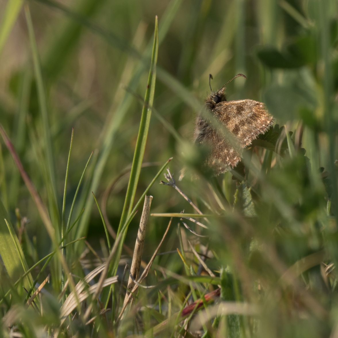 Dingy skipper in the chalk grassland sward