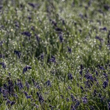 Bluebell dew