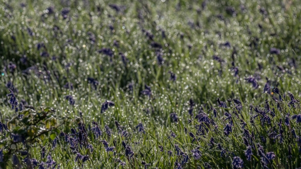 Bluebell dew