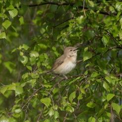 Singing garden warbler