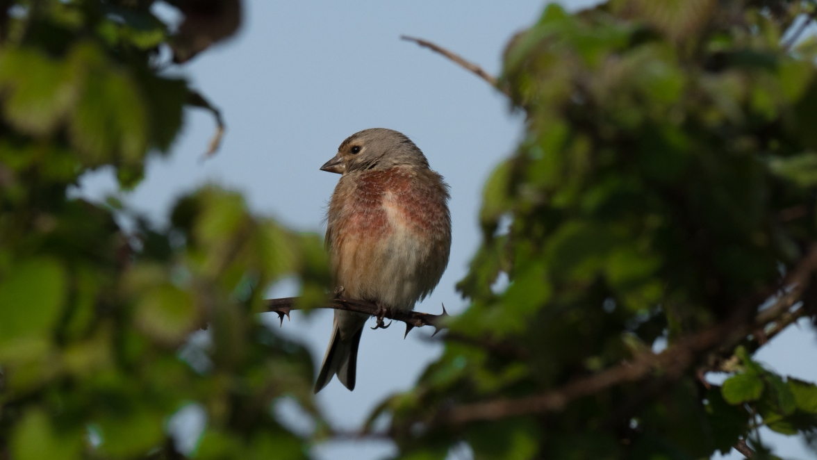 Cock linnet on a favourite perch