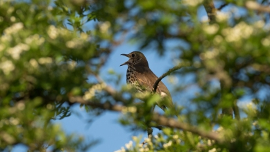 Singing song thrush