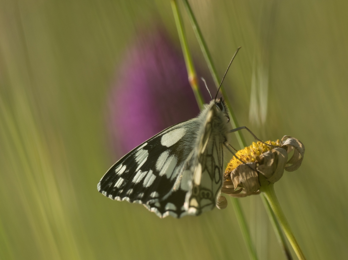 Marbled white, ox-eye daisy and pyramidal orchid
