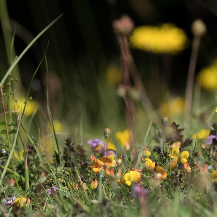 Downland turf