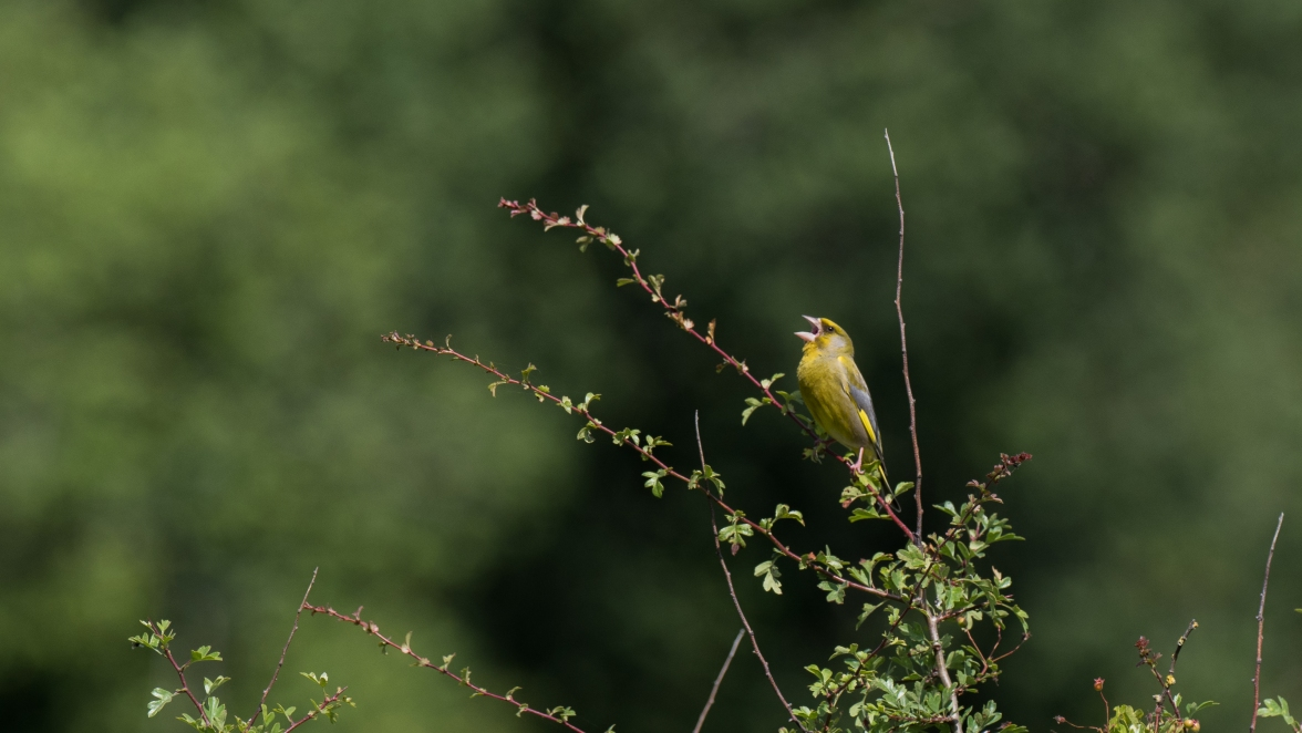 Wheezing greenfinch