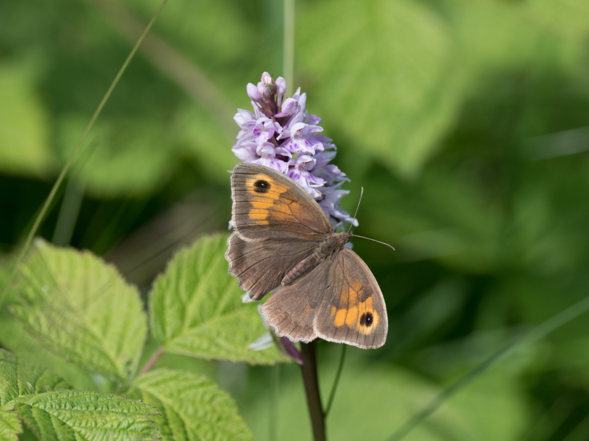 Meadow brown on common spotted orchid
