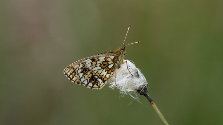 Small pearl-bordered fritillary on cotton grass on the hills above Nant Irfon